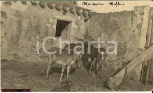 1923 MURAVERA (CA) Mufloni nel recinto Cartolina FP VG