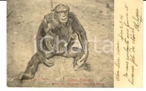 1904 CONGO FRANCAIS Chimpansé avec son enfant *Cartolina FP VG