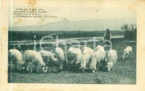 1917 VERONA Pastore al pascolo con gregge di pecore *Cartolina FP VG
