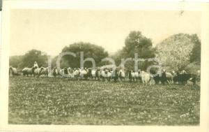 1935ca HOMS (LIBIA) Visioni coloniali Gregge di pecore Cartolina FP NV