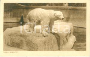 1935 ca ROMA Giardino zoologico L'orso bianco *Cartolina postale FP NV