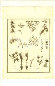1830 ca BOTANICA Stampa con tipi di fiori e petali *Inc. GARBORINO 20x28 cm