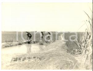 1970 ca LONG AN (VIETNAM) Contadini al lavoro in una risaia *Foto 24x20 cm