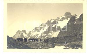 1937 COLLE DI TOULA Alpini con muli da trasporto - Fotografia 14x9 cm