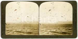 1901 GIBRALTAR Seagulls - Original stereoview H. C. WHITE ANIMATED