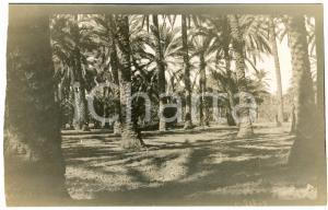 1920 ca ALGERIA - Palmeto in un'oasi - Foto VINTAGE 14x9 cm