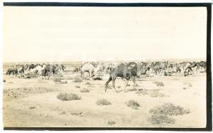 1920 ca ALGERIA - Carovana di cammelli  - Foto VINTAGE 14x9 cm (1)