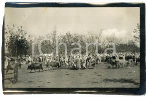 1920 ca ALGERIA - Mercato di bestiame  - Foto VINTAGE 14x9 cm (2)