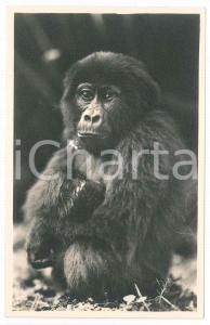 1930 ca C. ZAGOURSKI «L'Afrique qui disparaît» Jeune gorille - Postcard n.175