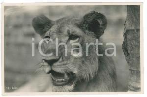 1930 ca C. ZAGOURSKI «L'Afrique qui disparaît» Un lion - Postcard n.176