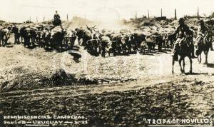 1930 URUGUAY Reminescencias camperas - Tropa de novillos *Tarjeta postal VINTAGE