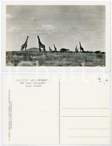 1930 C. ZAGOURSKI «L'Afrique qui disparaît» KENIA - Des girafes *Postcard n.195