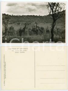 1930 C. ZAGOURSKI «L'Afrique qui disparaît» KENIA - Des girafes *Postcard n.194