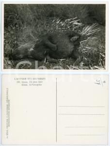 1930 C. ZAGOURSKI «L'Afrique qui disparaît» KENIA - Porc épic *Postcard n.191